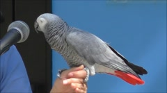 African Grey Parrot and handler Stock Footage