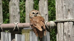 Screech owl on fence post Stock Footage