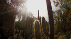 Saguaro And Organ Pipe Cactus Plants In Arizona Desert Stock Footage