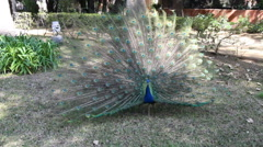 peacock (pavo cristatus) displaying feathers - stock footage
