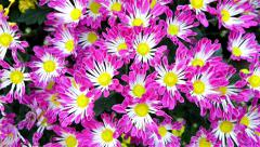 small chrysanthemum come into focus - stock footage