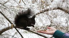 Dark brown squirrel eats a nut Stock Footage