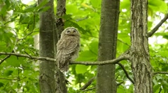 Face of cute owl_18 Stock Footage