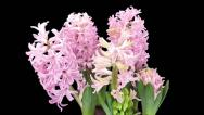 Stock Video Footage of Time-lapse of growing pink hyacinth Christmas flower with ALPHA