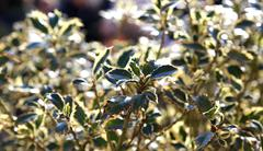 Spiny holly leaves in the light Stock Photos