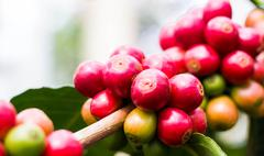 Coffee bean fresh fruit on tree at nort Thailand Stock Photos
