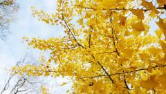 Ginkgo biloba tree leave panning Stock Footage