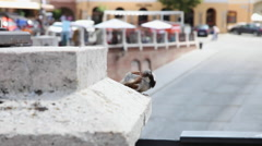 Little bird playing, sparrow in city square with restaurants in background Stock Footage