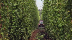 Tractor passing rows of hop plant at field plantation for beer at hop plant farm Stock Footage