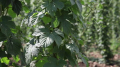 Hop field, row of young hop plans, sunny day, summer, wind, close up Stock Footage