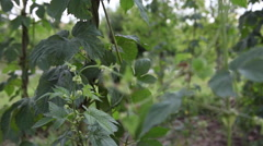 Vine of hop plant at plantation at farm on field with blooming plants Stock Footage