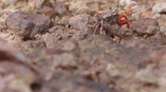HD footage close up of Fiddler Crab Stock Footage