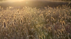 Cotton grass coastal plants blowing in breeze Stock Footage