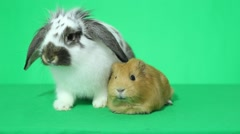 rabbit with long ears and a talking guinea pig - stock footage