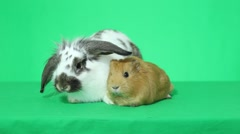 rabbit  and golden guinea pig - stock footage