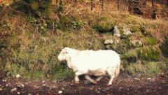 Three Sheep Run Past Stock Footage