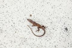 common salamander - stock photo