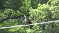ULTRA HD 4K Black bird crow relax electric cable prepare hunt raven wildlife day Stock Footage