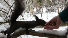 Feeding timidly Black squirrel - stock footage
