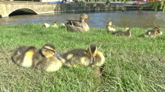 Mother Duck and Ducklings Stock Footage