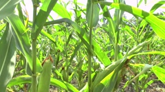 Field of a corn - stock footage