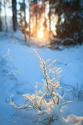 Frozen blueberry twig in last warm sunlight of the day - stock photo