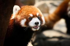 Cute red panda - stock photo