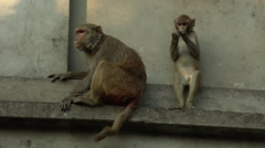 HD Wild cute monkeys mom and baby Stock Footage