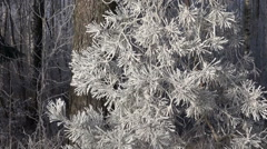 Beautiful winter hoarfrost rime on pine tree branch Stock Footage