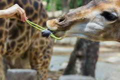 Hand of female giving cowpea to giraffe in thailand Stock Photos