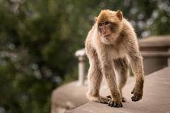 Stock Photo of Young Barbary Ape on Wall