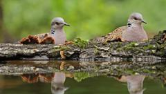 Birds Turtule doves drinking water from forest pond, Streptopelia turtur Stock Footage