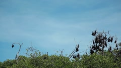 Flying fox on the tree in the jungle of Indonesia Stock Footage