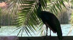 Peafowl (Phasianidae) (Peacock) - 4 Stock Footage