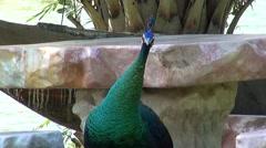 Peafowl (Phasianidae) (Peacock) - 6 Stock Footage