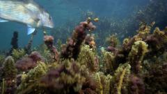 Snapper fish swimming over seaweed garden Stock Footage