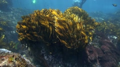 Strapweed kelp dancing in current underwater Stock Footage