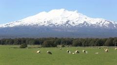 Sheep grazing on farmland at Mount Ruapehu Stock Footage