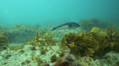 Blue cod underwater Stock Footage