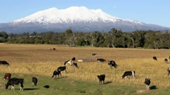 Cattle grazing on farmland and Mount Ruapehu Stock Footage