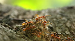 close up of red ants - stock footage