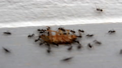 Ants eat dead insect Stock Footage