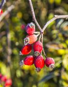 Rose hips with hoar frost in winter Stock Photos