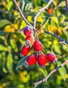 rose hips with hoar frost in winter - stock photo