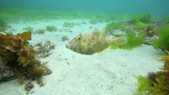 Curious leatherjacket fish underwater Stock Footage