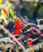 Stock Photo of rose hips with hoar frost in winter