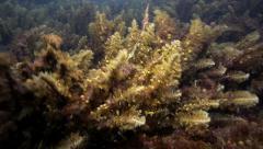 Seaweed in current on ocean floor Stock Footage