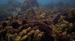 Banded wrasse hiding amongst seaweed underwater Stock Footage