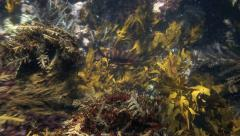 Red moki fish amongst seaweed Stock Footage