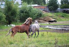 Courtship horses. Stock Photos